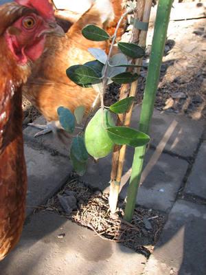 hen looking at feijoa tree