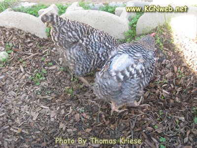 Barred Plymouth Rock chickens going through a moult