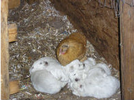 pullet and puppies