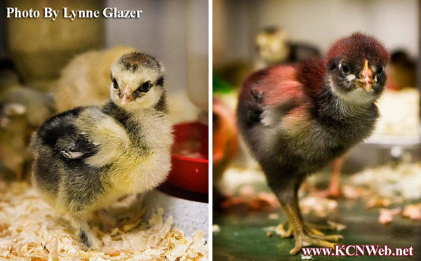 2-baby-chicks