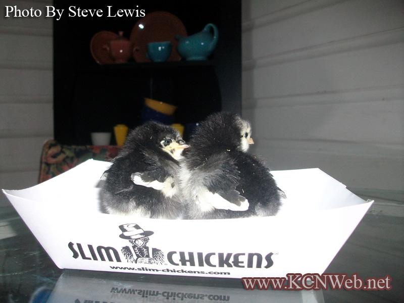 black-austrolorp-chicks
