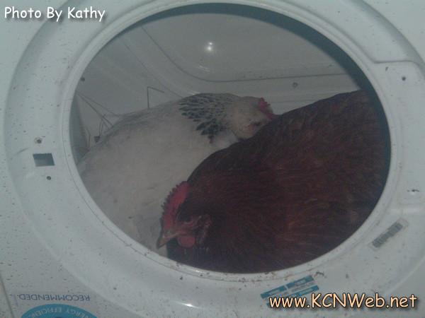 chickens-in-washing-machine