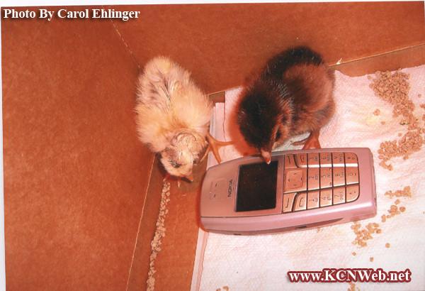 chicks-making-a-phone-call