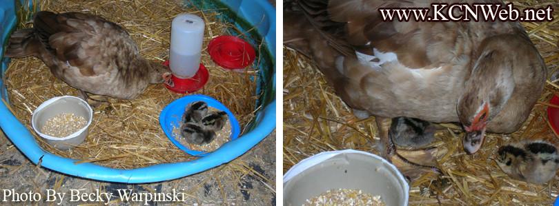 duck-raising-baby-chickens