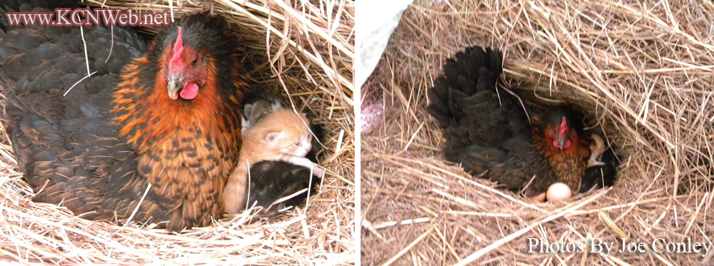 hen-and-kittens
