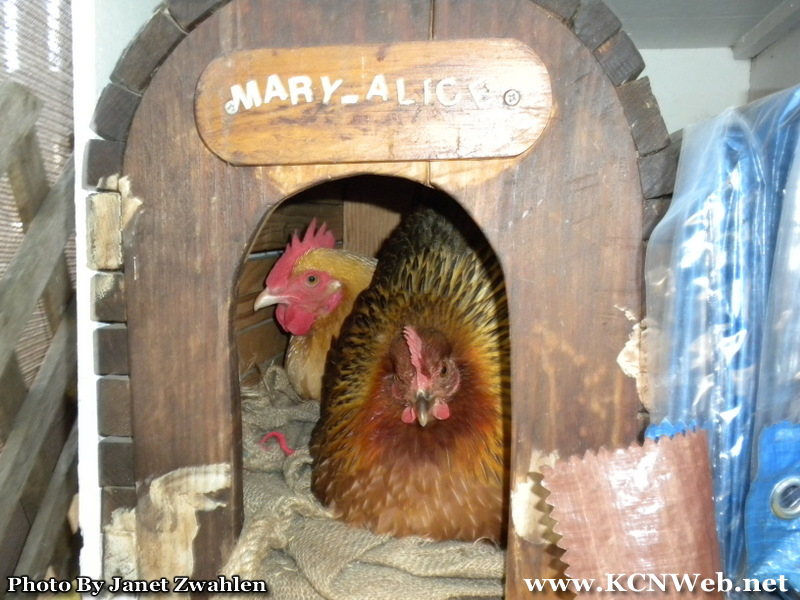 hens-in-cat-house