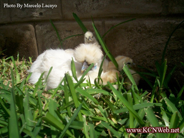 silkie-hen-and-chicks