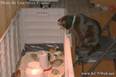 cat-watching-chicks