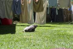 chicken-sunbathing