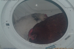 Chickens In Washing Machine