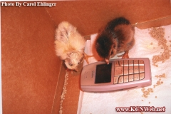 chicks-making-a-phone-call