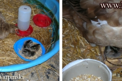 Duck Raising Baby Chickens