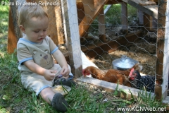 Feeding corn to chickens