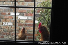 Hens At The Window