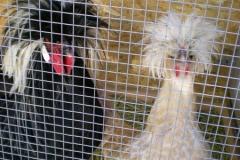 polish-chickens-brideandgroom