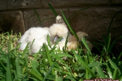 Silkie hen and chicks