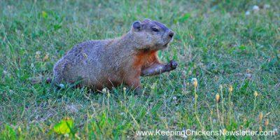 groundhog on grass