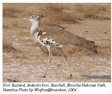 Kori Bustard, Ardeotiskori. Burchell, Etoscha National Park, Namibia Photo by Winfried / Bruenken, 2004