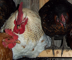 egg laying hens