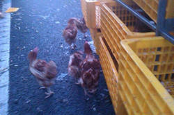 chickens walking on the road beside the crashed lorry