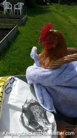 Last hen Kay