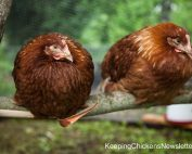 2 chickens sitting on roost