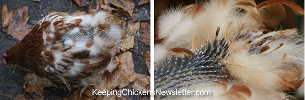 photos of a hen in moult