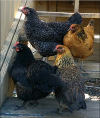 the original flock of four chickens