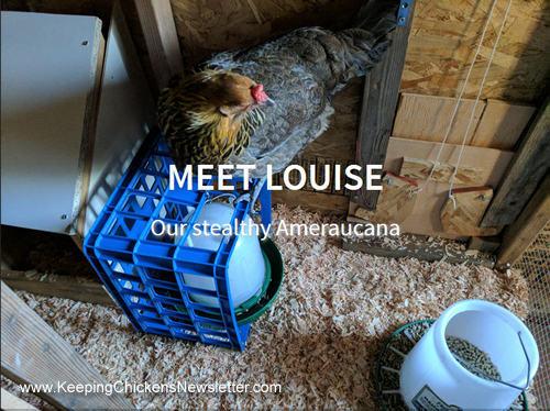 Louise the Ameraucana in her coop